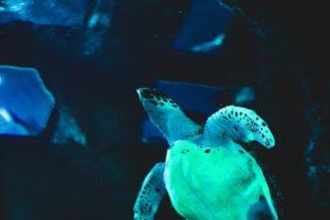 オサガメの潜水時間は150日と超長い