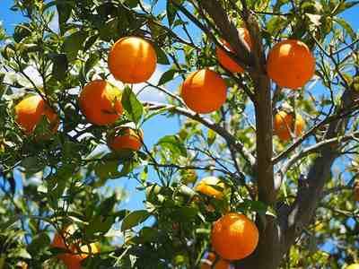 フロリダ原産のオレンジ